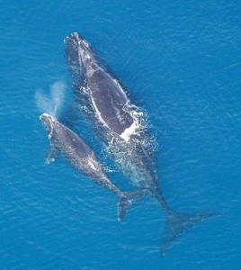 4. North Atlantic Right Whale and Calf (Eubaleana glacialis) Wikipedia, public domain.