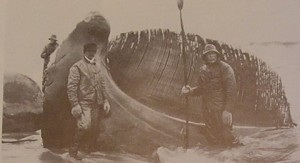 Figure 4. Jawbone with baleen attached. East Hampton Historical Society Collections