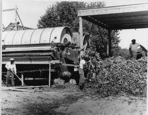 Fig. 6: Lima bean workers, c. 1955.  In the 1950s, local farm owners founded a cooperative to harvest and freeze beans for General Foods and other food conglomerates.  African American migrants were hired from the Carolinas to do the dangerous and dirty work demanded by the lima bean machines.  They were housed in shacks behind the combines. (photo courtesy of the SIHS archives)